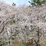 桜を見る会(✿´꒳`)ノ°+.*
